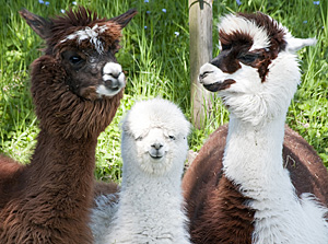 Alpaca Fibers - Weaver Creek Fibers, wholesale purveyors of luxury fibers